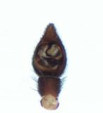Alopecosa pulverulenta ( Ängsvargspindel )