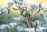 Praying Mantis Mating Season