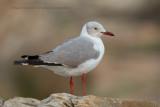 Grey-headed Gull - Chroicocephalus leucocephalus