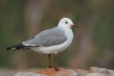 Hartlaub's Gull - Larus hartlaubi