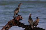 Cape Cormorant - Phalacrocorax capensis