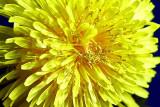 dandelion_macro