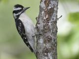 downy woodpecker BRD2784.JPG