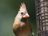 northern cardinal BRD2841.JPG
