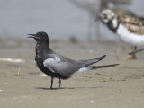black tern BRD3193.JPG