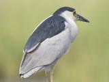 black-crowned night heron BRD3258 01.JPG