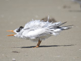 royal tern BRD3494.JPG