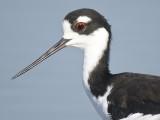 black-necked stilt BRD4131.JPG