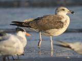 lesser black-backed gull BRD5609.JPG
