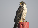 peregrine falcon BRD5618.JPG