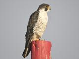 peregrine falcon BRD5621.JPG