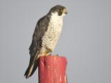 peregrine falcon BRD5625.JPG