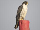 peregrine falcon BRD5627.JPG