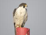 peregrine falcon BRD5630.JPG