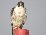peregrine falcon BRD5634.JPG