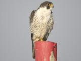 peregrine falcon BRD5637.JPG