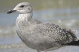 herring gull BRD5761.JPG