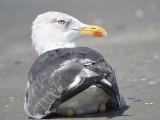 lesser black-backed gull BRD5777.JPG