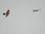 peregrine falcon BRD5816.JPG
