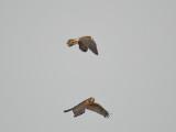 peregrine falcon BRD5818.JPG