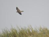 peregrine falcon BRD5824.JPG