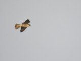 peregrine falcon BRD5825.JPG