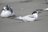common tern BRD6111.JPG