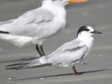 common tern BRD6127.JPG