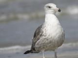 lesser black-backed gull BRD6076.JPG