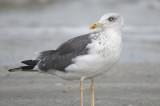 lesser black-backed gull BRD6263.JPG