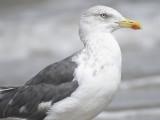 lesser black-backed gull BRD6270.JPG