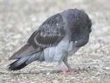 rock pigeon BRD6277.JPG