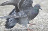 rock pigeon BRD6280.JPG