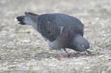 rock pigeon BRD6289.JPG