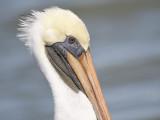 brown pelican BRD6923.JPG