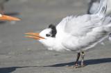 royal tern BRD7165.JPG