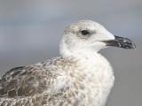 lesser black-backed gull BRD7288.JPG