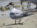common tern BRD0987.JPG