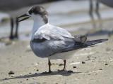 common tern BRD0989.JPG