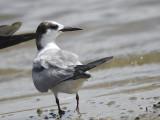 common tern BRD0999.JPG
