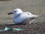 glaucous gull BRD0889.JPG