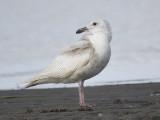 glaucous gull BRD0922.JPG