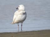 glaucous gull BRD0926.JPG