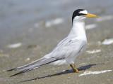 least tern BRD0979.JPG