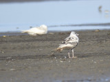 lesser black-backed gull BRD0865.JPG