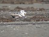 lesser black-backed gull BRD0881.JPG