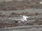 lesser black-backed gull BRD0885.JPG