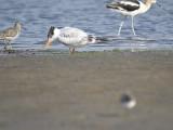 royal tern BRD0901.JPG