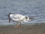 royal tern BRD0909.JPG