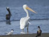 white pelican BRD0891.JPG
